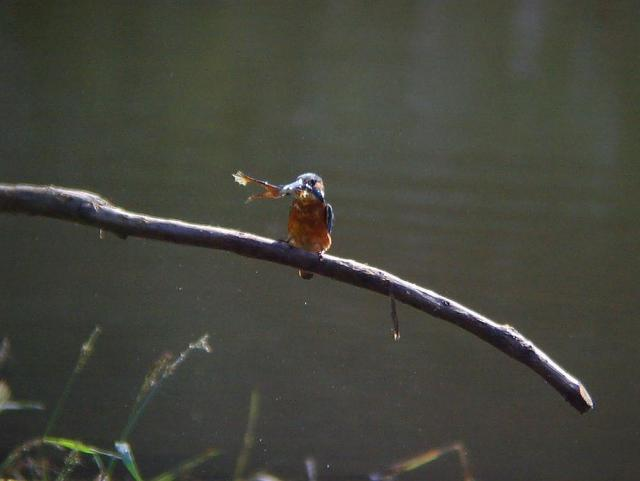 カワセミと蛙